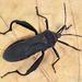 Piezogaster rubronotatus - Photo (c) Eduardo Axel Recillas Bautista, algunos derechos reservados (CC BY-NC)