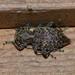 Plectrura spinicauda - Photo (c) bellaormseth, algunos derechos reservados (CC BY-NC)