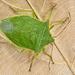 Loxa viridis - Photo (c) Eduardo Axel Recillas Bautista, some rights reserved (CC BY-NC)