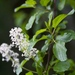Redstem Ceanothus - Photo (c) Brent Miller, some rights reserved (CC BY-NC-ND)