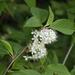 Prunus maackii - Photo (c) V.S. Volkotrub, algunos derechos reservados (CC BY-NC)