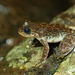 Hong Kong Cascade Frog - Photo (c) Tommy Hui, some rights reserved (CC BY-NC)