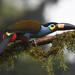 Andigena laminirostris - Photo (c) Josh Vandermeulen, alguns direitos reservados (CC BY-NC-ND)