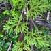 Lycopodium paniculatum - Photo (c) Leonardo Tempesta,  זכויות יוצרים חלקיות (CC BY-NC)
