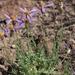 Ionactis alpina - Photo (c) Jim Morefield, osa oikeuksista pidätetään (CC BY)