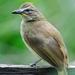 Pycnonotus luteolus - Photo (c) QuestaGame, algunos derechos reservados (CC BY-NC-ND)