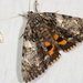 Oldwife Underwing - Photo (c) John Christensen, some rights reserved (CC BY-NC)