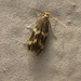 Yellow V Moth - Photo (c) Rebecca Marschall, some rights reserved (CC BY-NC)