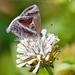 Mariposa Sedosa de la Lantana - Photo (c) Eduardo Axel Recillas Bautista, algunos derechos reservados (CC BY-NC)