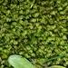 Fissidens asplenioides - Photo (c) Leon Perrie, μερικά δικαιώματα διατηρούνται (CC BY)
