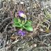 Viola sagittata ovata - Photo (c) djm, algunos derechos reservados (CC BY-NC)
