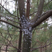 Pine Bark Adelgid - Photo (c) Summit Metro Parks, some rights reserved (CC BY)