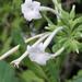 Nicotiana sylvestris - Photo (c) Scott Zona, algunos derechos reservados (CC BY)