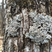 Pale-bellied Frost Lichen - Photo (c) cjlewis, some rights reserved (CC BY-NC), uploaded by cjlewis