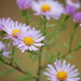 New York Aster - Photo (c) Hermann Falkner, some rights reserved (CC BY-NC)