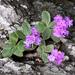 Primula marginata - Photo (c) Roberto Sindaco, some rights reserved (CC BY-NC-SA)