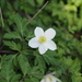 Anemonoides nikoensis - Photo (c) Keita Watanabe, algunos derechos reservados (CC BY-NC)