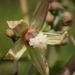 Manihot esculenta - Photo (c) 葉子, μερικά δικαιώματα διατηρούνται (CC BY-NC-ND)