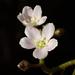 Drosera finlaysoniana - Photo (c) 葉子,  זכויות יוצרים חלקיות (CC BY-NC-ND)