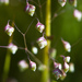 Little Quaking-Grass - Photo (c) Ken-ichi Ueda, some rights reserved (CC BY)