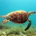 Tortuga Verde - Photo (c) Lennart Hudel, algunos derechos reservados (CC BY)
