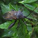 Giant Mesquite Bug - Photo (c) Lon&Queta, some rights reserved (CC BY-NC-SA)