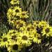 Espeletia santanderensis - Photo (c) Sergio_Rojas-Díaz,  זכויות יוצרים חלקיות (CC BY-NC-ND)