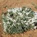 Astragalus rupifragus - Photo (c) tyomix, algunos derechos reservados (CC BY-NC-SA)