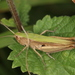 Chorthippus dorsatus - Photo (c) Lupoli Roland,  זכויות יוצרים חלקיות (CC BY-NC)