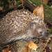 Northern White-breasted Hedgehog - Photo (c) Иван Тисленко, some rights reserved (CC BY-NC)