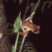 Günther's Banded Tree Frog - Photo (c) vanhoutan, some rights reserved (CC BY), uploaded by Kyle Van Houtan