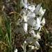 Delphinium variegatum kinkiense - Photo (c) sci_nro, alguns direitos reservados (CC BY-NC), uploaded by sci_nro