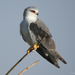Black-winged Kite - Photo (c) owlice, some rights reserved (CC BY-NC)