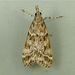 Moss-eating Crambid Snout Moths - Photo (c) Dick, some rights reserved (CC BY-NC-SA)