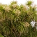 New Zealand Cabbage Tree - Photo (c) Steve Reekie, some rights reserved (CC BY-NC)