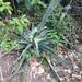 Manfreda variegata - Photo (c) Javi Gonzalez, some rights reserved (CC BY-NC)