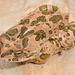 Bufotes boulengeri boulengeri - Photo (c) moroccoherps, osa oikeuksista pidätetään (CC BY-NC-SA), uploaded by moroccoherps