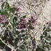 Parry's Saltbush - Photo (c) Corey Lange, some rights reserved (CC BY-NC)