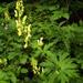 Aconitum lycoctonum - Photo (c) ahmedm,  זכויות יוצרים חלקיות (CC BY-NC)