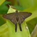 Brown Longtail - Photo (c) andersonwarkentin, some rights reserved (CC BY-NC)