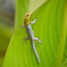Painted Dwarf Gecko - Photo (c) suzannevf, some rights reserved (CC BY-NC)