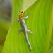 Lygodactylus picturatus - Photo (c) suzannevf, algunos derechos reservados (CC BY-NC)
