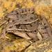 Rana Leopardo Sureña - Photo (c) jackandshirley, algunos derechos reservados (CC BY-NC)