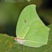 Yellow Angled-Sulphur - Photo (c) Eduardo Axel Recillas Bautista, some rights reserved (CC BY-NC)