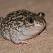 Iberian Spadefoot Toad - Photo (c) Joaquim Maceira Muchaxo, some rights reserved (CC BY-NC-ND)