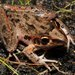 Litoria freycineti - Photo (c) teejaybee, μερικά δικαιώματα διατηρούνται (CC BY-NC-ND)