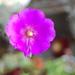 Cistanthe grandiflora - Photo (c) FarOutFlora, μερικά δικαιώματα διατηρούνται (CC BY-NC-ND)