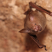 Commerson's Roundleaf Bat - Photo (c) David Dennis, some rights reserved (CC BY-SA), uploaded by DavidDennisPhotos.com