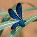 Matrona cyanoptera - Photo (c) 張智偉(Chang, Jack, Chih-Wei), algunos derechos reservados (CC BY-NC)