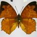 Polyura pleione bebra - Photo (c) Thomas Desloges, algunos derechos reservados (CC BY-NC)